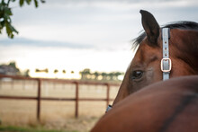 Pferdeauge Auf Der Koppel