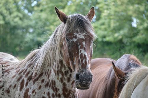 Fotografija Beau cheval pommelé bai .