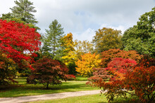 Autumn Acers At Westonbirt