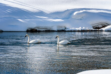 Two Trumpeter Swans In Yellowstone Park Swimming On A River Wyoming USA