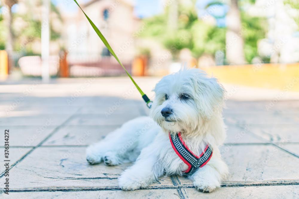 Fototapeta Adorable white dog at street of city.