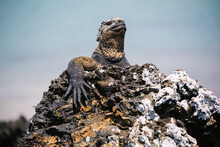 Galapagos Sea Saltwater Iguana Sitting On A Rock And Blue Ocean In The Background, Tintoreras