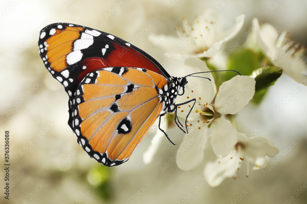 Fototapeta Beautiful plain tiger butterfly on blossoming tree branch, closeup