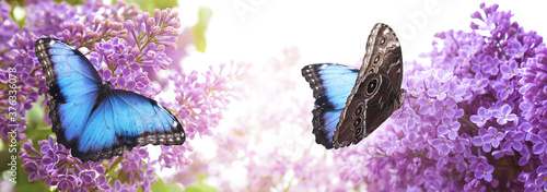 Canvas Print Amazing common morpho butterflies on lilac flowers in garden, banner design