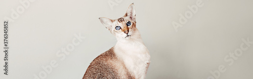 Foto Beautiful colorpoint blue-eyed oriental breed cat looking to camera