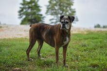 Brindle Boxer Dog