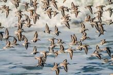 Sanderling Beach Birds