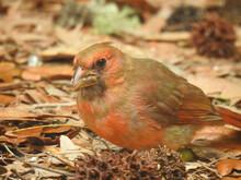 Juvenile Cardinal On Tybee Island, Georgia