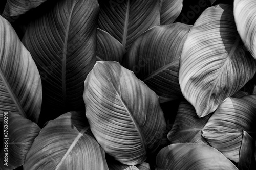leaves of Spathiphyllum cannifolium, abstract monochrome texture, nature background, tropical leaf #376360298