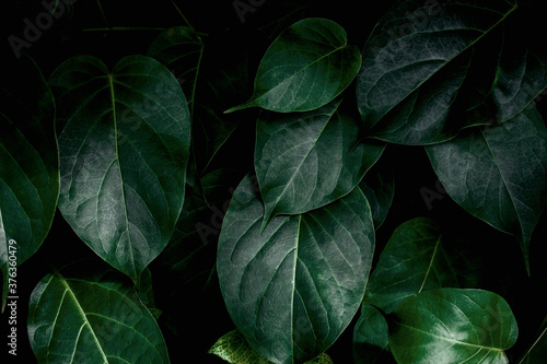 closeup nature view of green leaf texture, dark wallpaper concept, nature background, tropical leaf #376360479