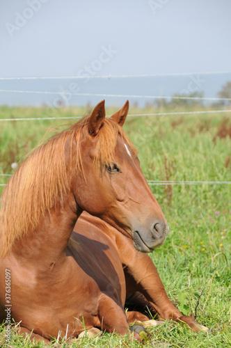 Slika na platnu American Quarter Horse Jährlinge