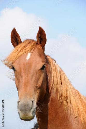 American Quarter Horse Jährlinge Fototapeta
