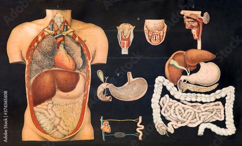 Fotografie, Tablou Old vintage chart of internal human anatomy