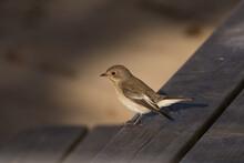 Gobemouche Noir - Pied Flycatcher (Ficedula Hypoleuca)