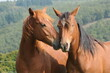 canvas print picture - American Quarter Horse Jährlinge