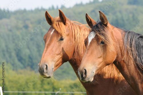 American Quarter Horse Jährlinge Canvas Print