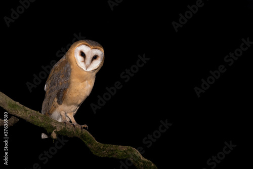 Tablou Canvas The beautiful Barn owl (Tyto alba)