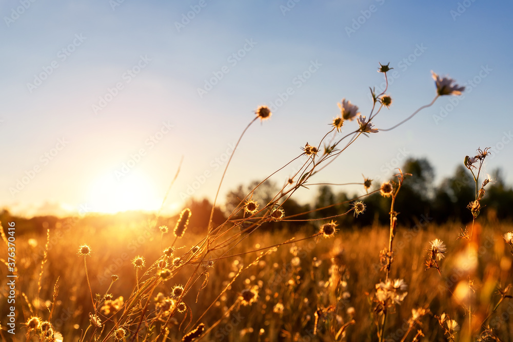 Fototapeta Abstract warm landscape of dry wildflower and grass meadow on warm golden hour sunset or sunrise time. Tranquil autumn fall nature field background. Scenic dusk sundown or dawn pastel sun light