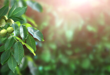 Branch With Leaves And Green W...