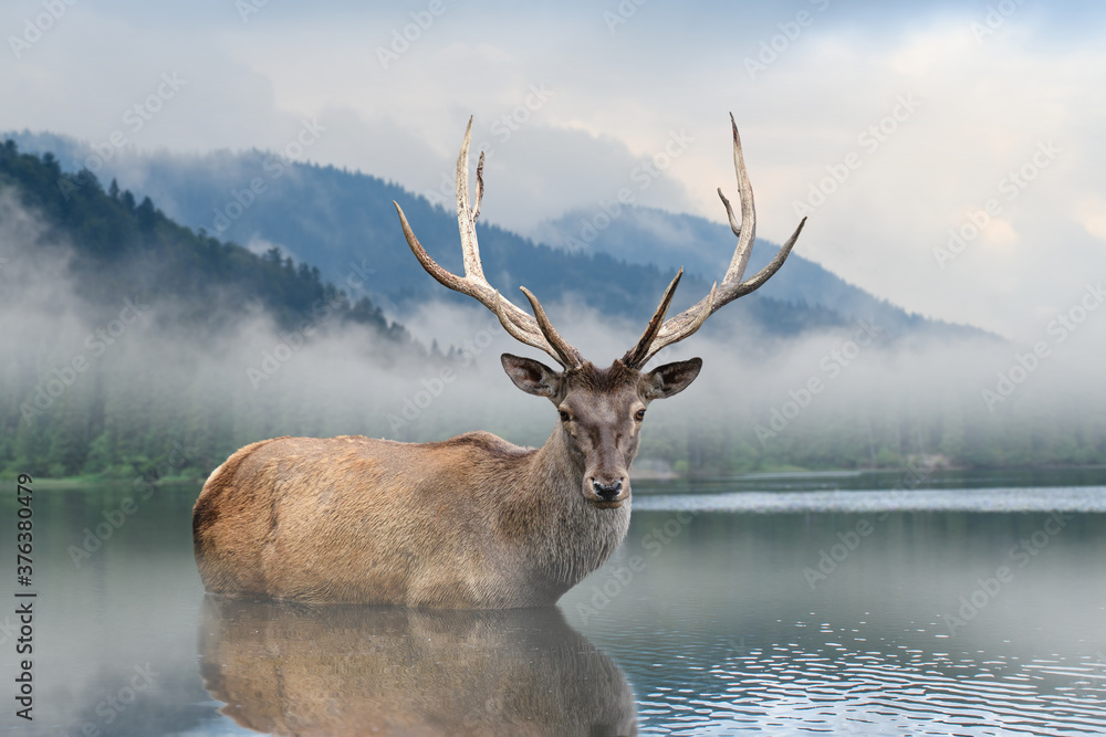 Fototapeta Beautiful deer stag swimming in lake on mountain landscape with fog