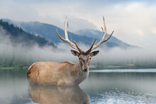 Beautiful Deer Stag Swimming I...