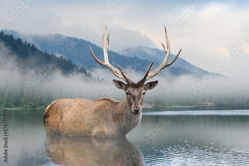 Beautiful deer stag swimming in lake on mountain landscape with fog