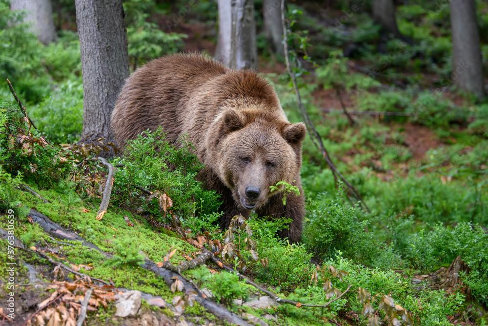 Fototapeta Wild adult Brown Bear ( Ursus Arctos ) in the summer forest