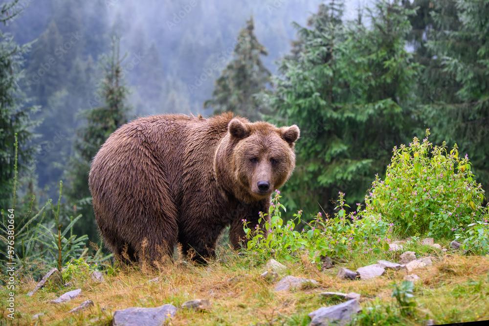 Fototapeta Wild adult Brown Bear  (Ursus Arctos) in the summer forest