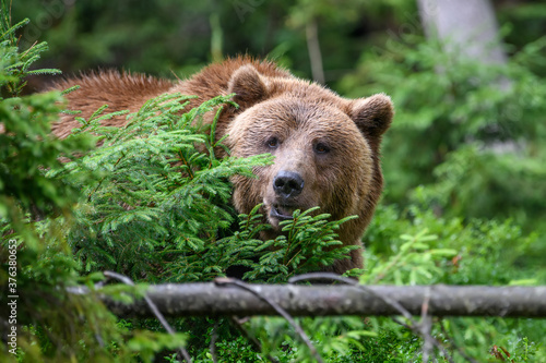 Papel de parede Wild adult Brown Bear ( Ursus Arctos ) in the summer forest