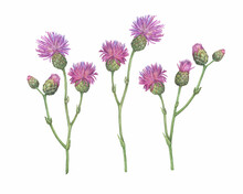 Set Of The  Field Thistle Flower ( Cirsium Arvense, Creeping Thistle, Way Thistle, Small-flowered). Watercolor Hand Drawn Painting Illustration Isolated On White Background.