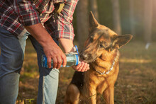 German Shepherd Pup Drinking Water Given By His Owner
