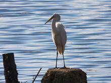 Egret / Crane Bird / Heron