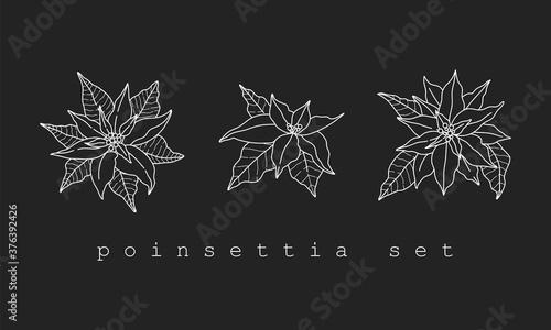 Fototapeta Set of poinsettia flowers in white line