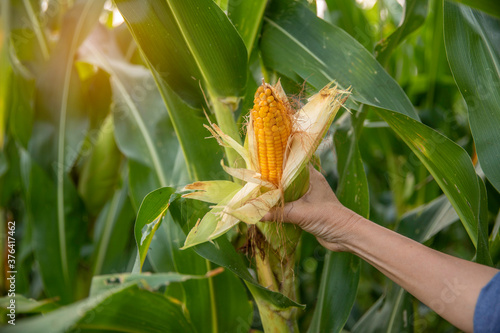 Picking a golden yellow corn from the maize plant - A woman plucks corn from the Canvas Print