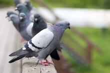 Ptaki Gołębie Miejskie