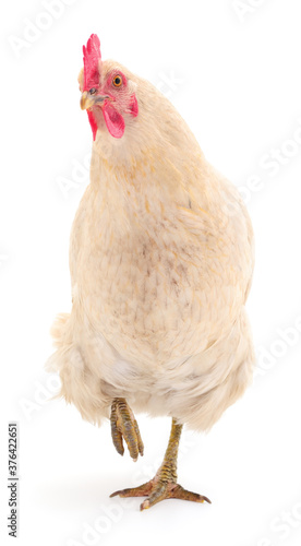 Photo white hen isolated.