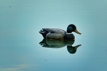 Duck In Water, Photo As A Back...