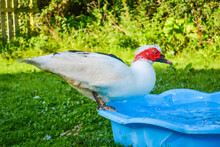 Handsome Red And White Muscovy Free Range Drake Duck, Splashing On The Side Of A Blue Paddling Pool Or Duck Pond