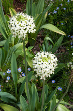 Sydney Australia, Flowering Ornithogalum Saundersiae Or Giant Chincherinchee Plant In Garden