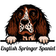Head English Springer Spaniel - dog breed. Color image of a dogs head isolated on a white background