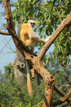Golden Langur (Trachypithecus Geei) Sitting On Tree Branch And Basking