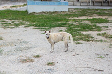 A Poor And Skinny Street Dog Standing On The Road.
