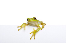 Green Frog Showing Signboard Over White Background.