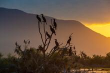 Cormorants (Phalacrocoracidae) Sitting In A Tree At Sunrise, Lake Kerkini
