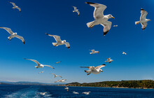 Seagulls (Laridae) Flying Behind A Tourist Boat, Mount Athos, Central Macedonia