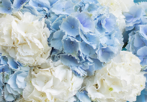 Fotografia Young man holding a beautiful blossoming flower bouquet of fresh blue and white  Hydrangea