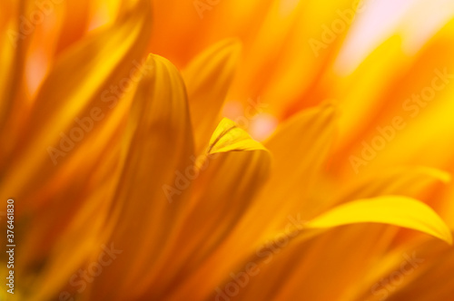 Beautiful fresh yellow sunflower macro shooting Slika na platnu