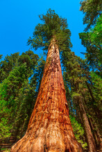 Close Up Of Sequoia Tree In Sequoia And Kings Canyon National Park In The Sierra Nevada In California