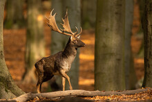 Majestic Fallow Deer, Dama Dama, Stag Walking In Sunny Autumn Forest With Copy Space. Wild Animal Moving In Nature Among Trees From Front View. Male Mammal Coming Closer.