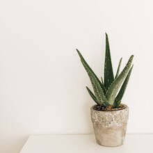 Home Plant Aloe Vera In Flowerpot On White Table